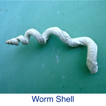Worm Shell ID