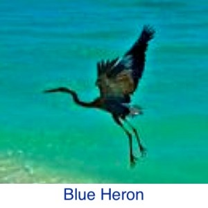 Blue Heron ID