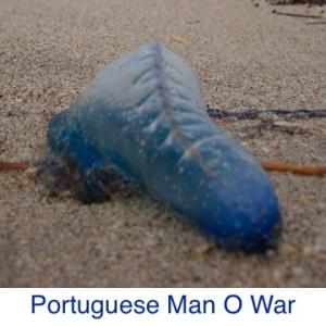 Portuguese Man O War