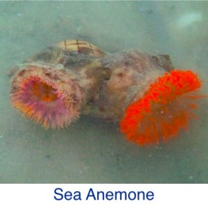 Sea Anemone Beach ID