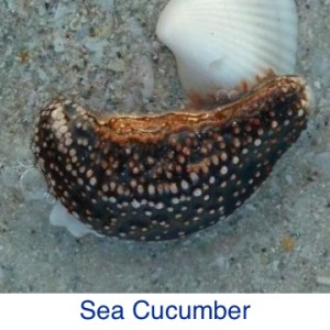 Sea Cucumber Beach Debris ID