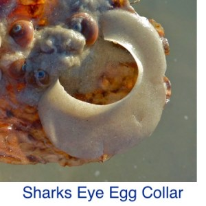 Sharks Eye Moon Shell Egg Collar