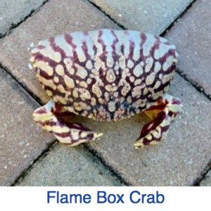 Flame Box Crab
