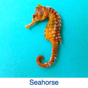 Seahorse ID