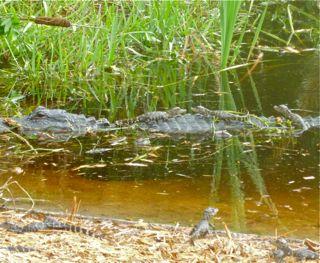 Ding Darling Baby Gators