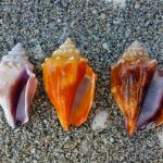 fighting conch color variations aperture