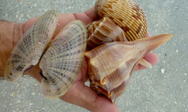 Buckets Of Seashells On Sanibel From Tropical Storm Debby