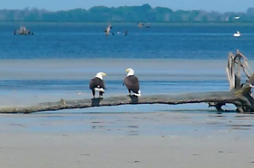 Bald Eagle Love Story