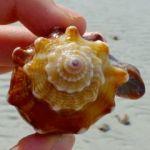 Florida fighting conch sanibel
