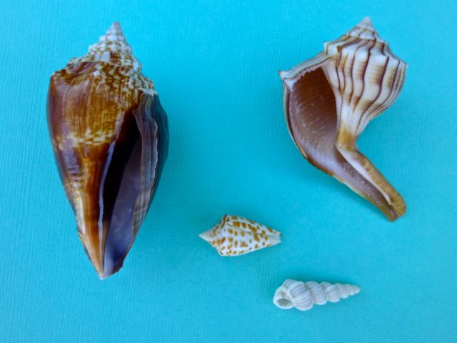 Southwest Florida Uncommon Shells