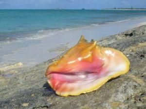 north caicos queen conch jh