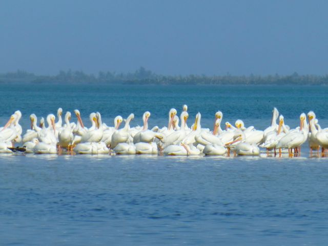 White Pelican Rescue On Sanibel's Out Islands