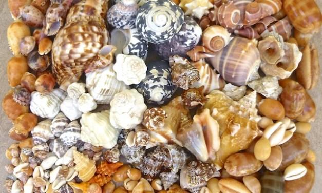 Seashells Collected From Guantanamo Bay Cuba