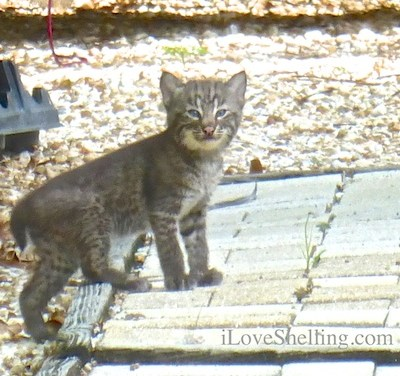 Three Sanibel Bobcat Kittens And their Mamma!!!