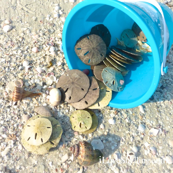 sand dollars and shells in a blue bucket