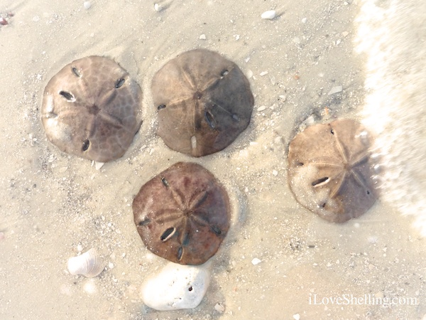 How To Identify Differences Between Live And Dead Sand Dollars I Love Shelling