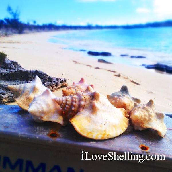 milk conchs cat island bahamas