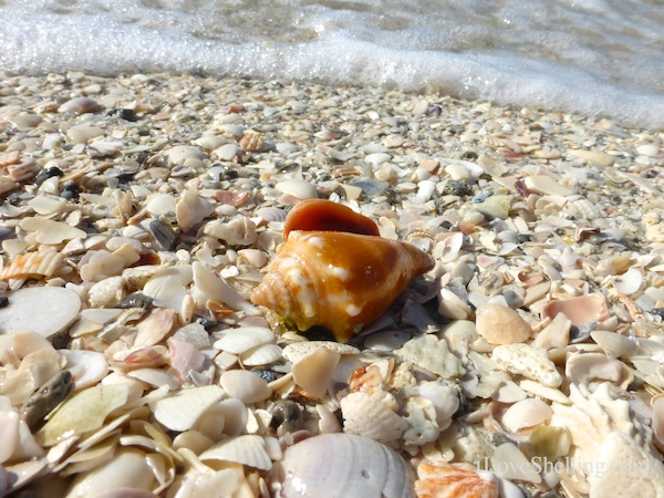 conch on the beach with sea foam