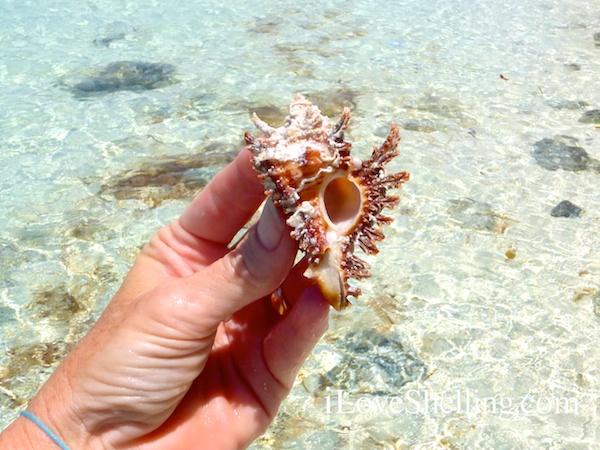 west indian lace murex found in the bahamas Chicoreus (Triplex) florifer