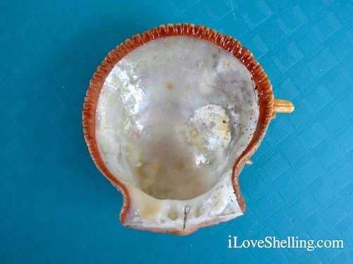 Thorny Oysters Spondylus americanus interior Guantanamo Gtmo Cuba