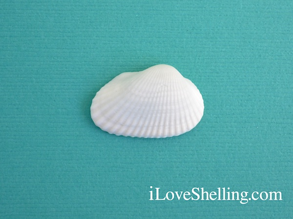 6 Most Common Shells On Sanibel Island, Florida