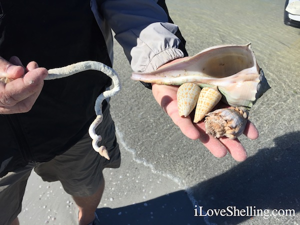 largest worm shell cones whelk kings crown Caladesi