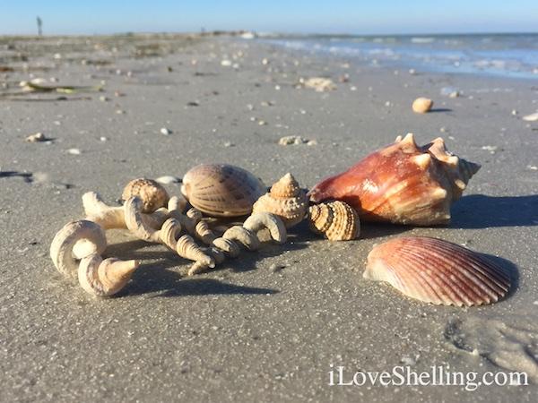 sea shells near Clearwater Beach Florida