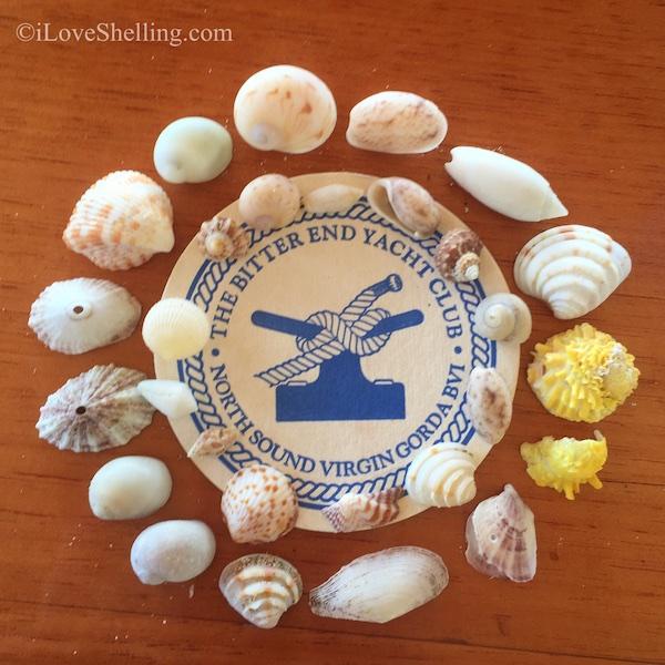 Seashells Virgin Gorda BVI Bitter End