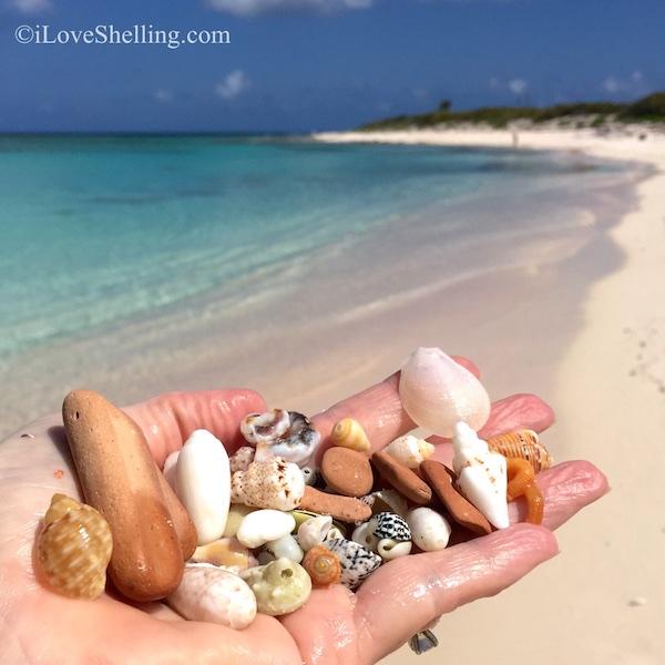 Shells and pottery relics BVI Virgin Island shelling