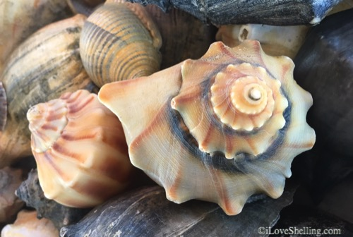 Crazy Carolina Beach Combing – Shelling Trip To Portsmouth Island, North Carolina