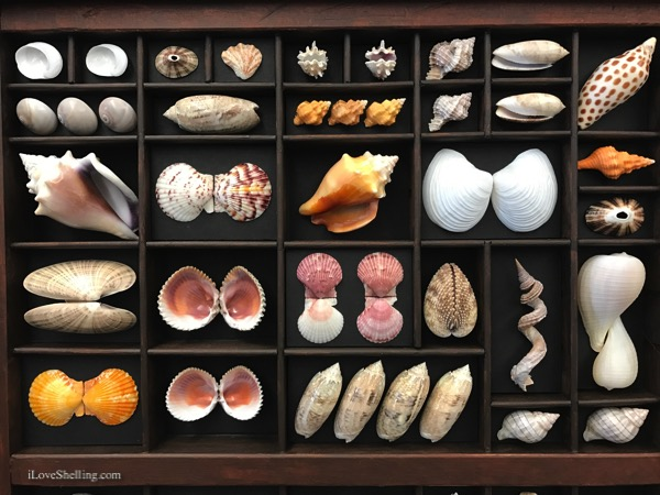 printers tray seashell collection