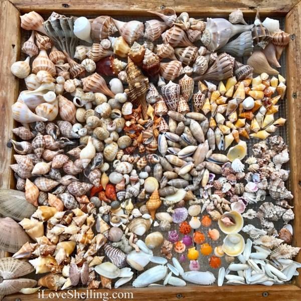 sea shells shelling kice island marco florida