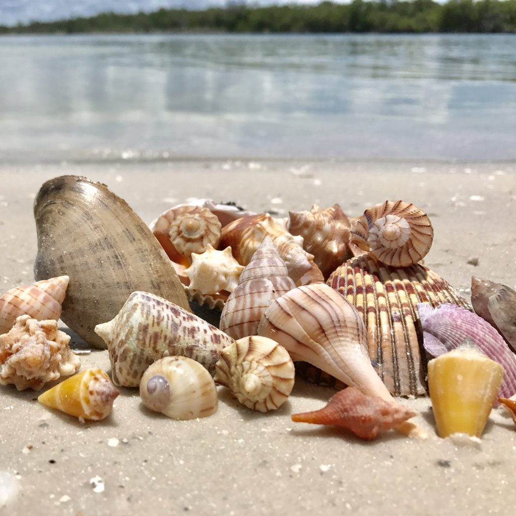 Marco Island seashells shellcation