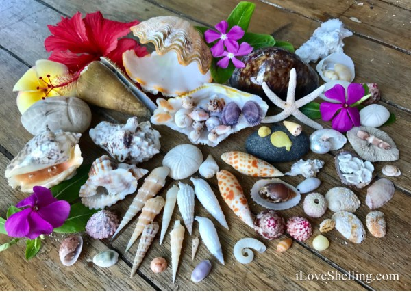 Indo Pacific seashells solomon islands south pacific