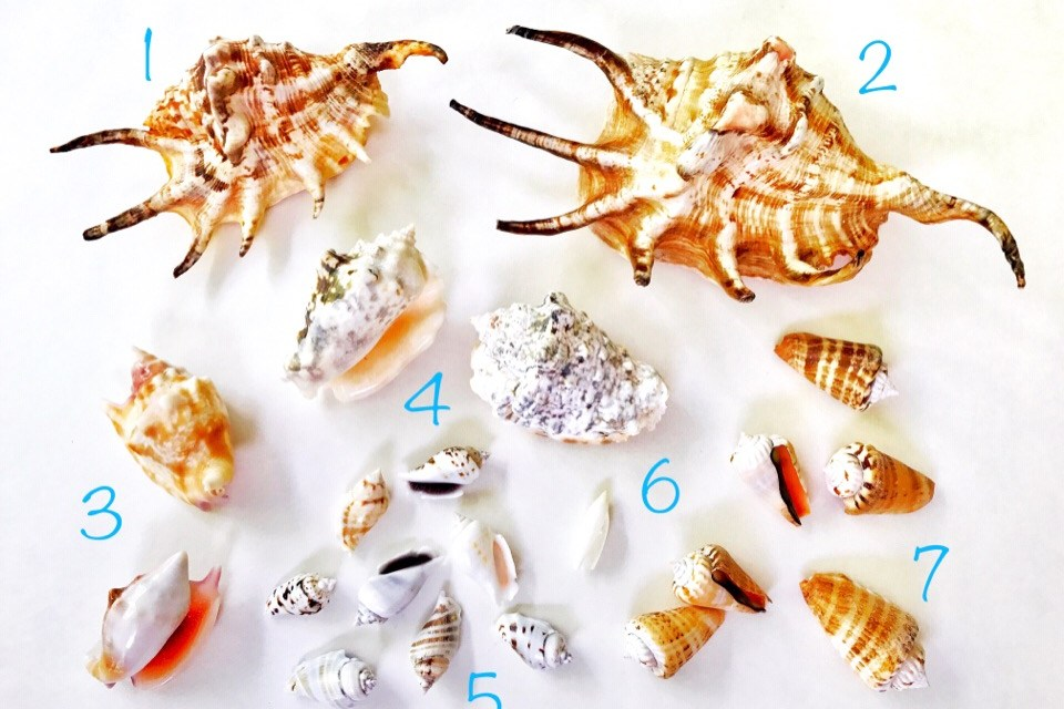 Shell 'N Tell – Solomon Islands Seashell Identification