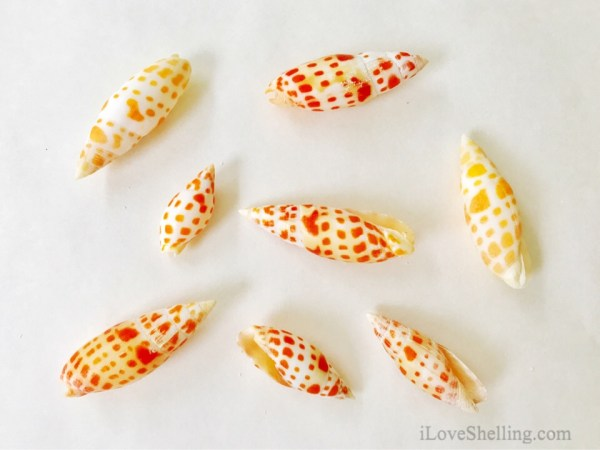 Solomon Islands Mitre mitra shells Miter seashells