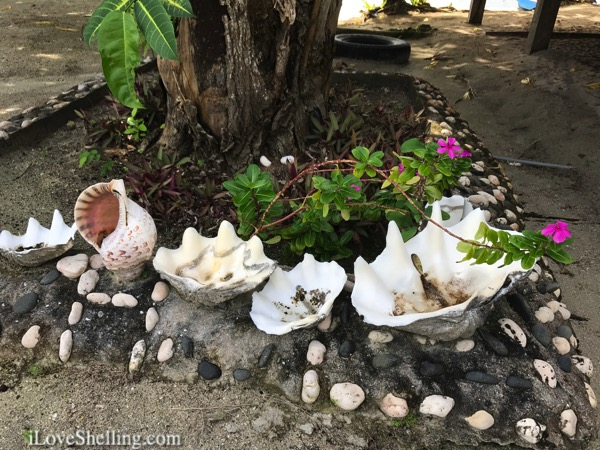 giant giga clams decorate garden solomon islands