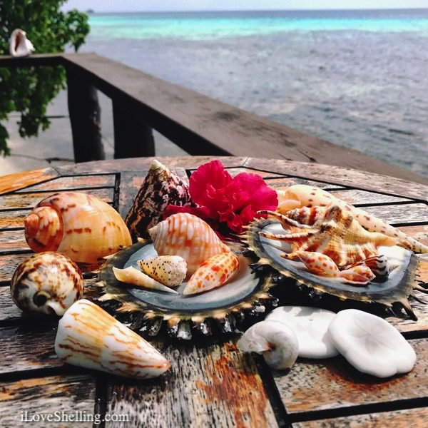 seashells and sea cookies solomon islands