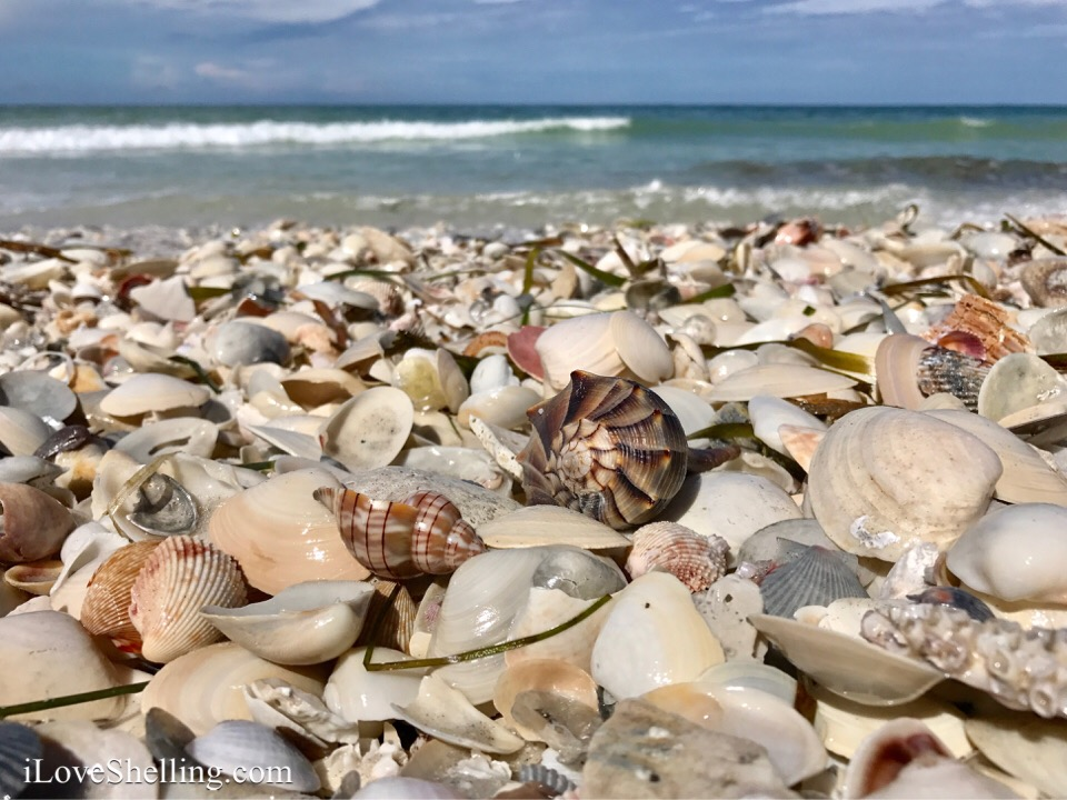 Sanibel Island Shelling August
