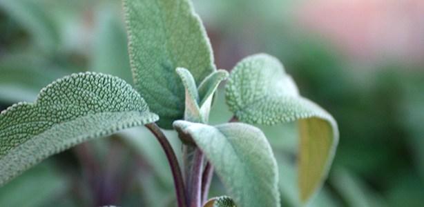 Salvia officinalis: umile, generosa e sacra