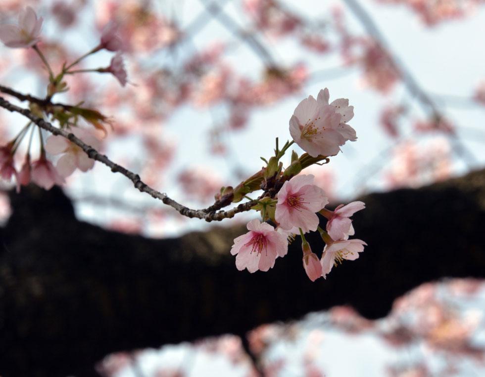 Risultato immagine per foto ciliegi in fiore in giappone