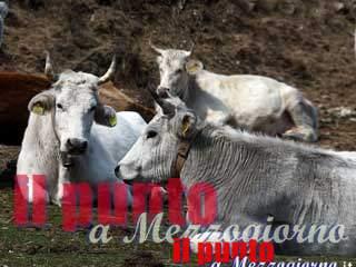 Controlli del Nas in azienda agricola a Paliano, chiusa area mungitura
