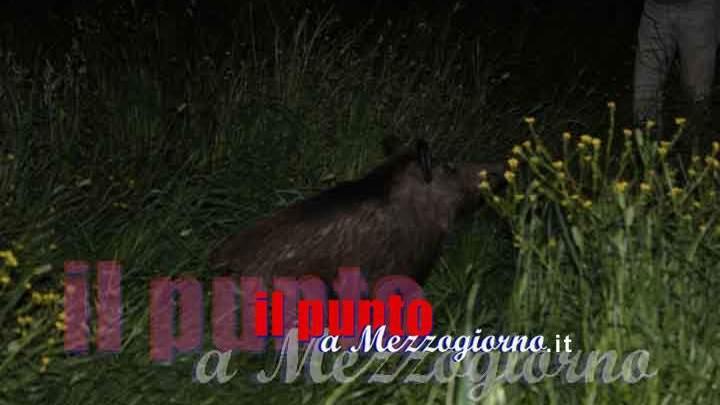 Allevamento abusivo di cinghiali sequestrato dalla polizia provinciale a Monte San Giovanni Campano