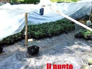 marijuana-cardito-6
