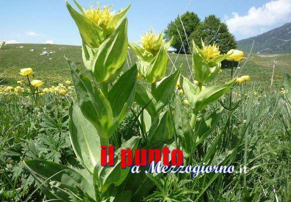 Razzia di radici di Genziana sui Monti Simbruini a Filettino, tre Ciociari multati