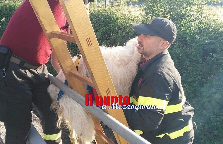 Cane caduto nel canale ad Aquino, Totò salvato dai vigili del fuoco