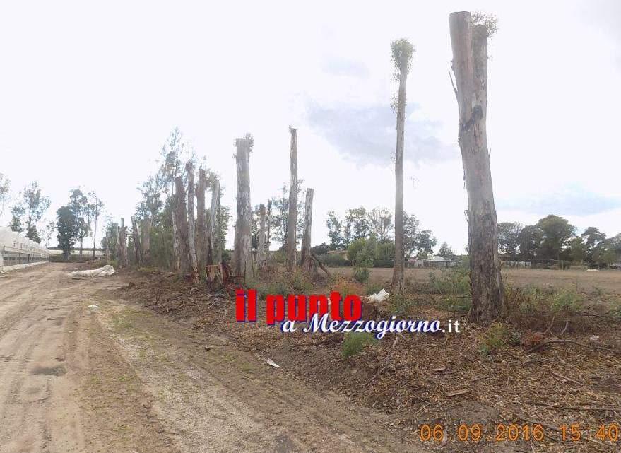 Fa tagliare 100 alberi di eucalipto della Regione, denunciata imprenditrice a Sabaudia