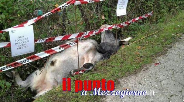 Mucche e tori in centro a Carpineto, firmata ordinanza di abbattimento