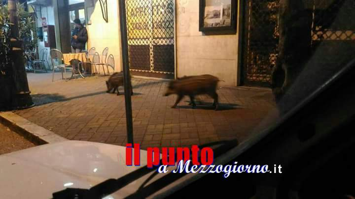 """Fare Verde: Contenimento dei cinghiali a Cassino """"si vede il dito ma non la luna"""""""