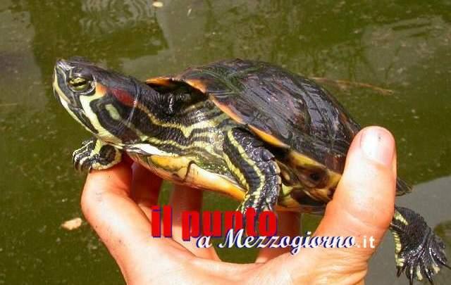 Venafro: Rinvenuto nel torrente Rava un esemplare di tartaruga dalle guance rosse